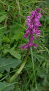 earlypurpleorchid2