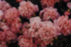 Canva - Pink Carnations.jpg