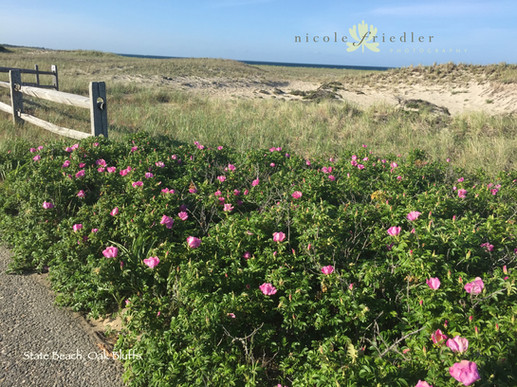 State Beach roses, Oak Bluffs