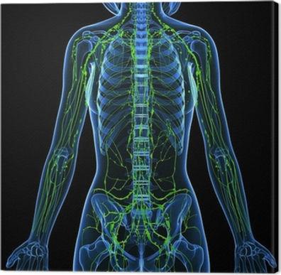 Image - Lymphatic system.jpg