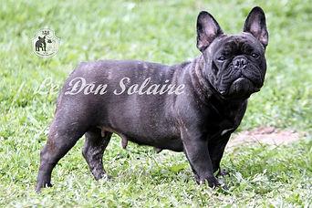 купить щенка французкого бульдога