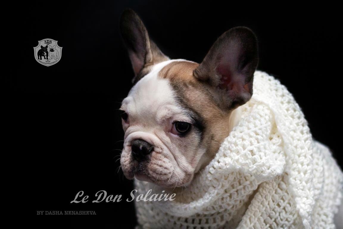 щенки французского бульдога купить