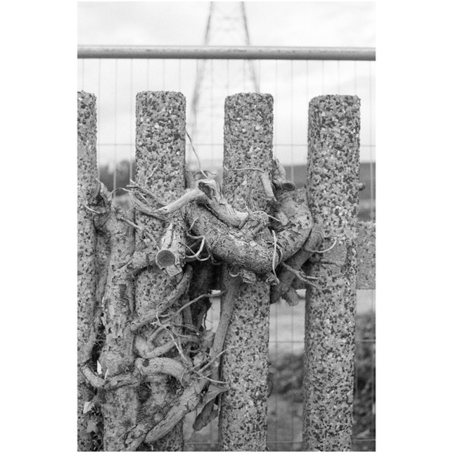Roots, 35mm photograph printed on Hahnemuhle Photo Rag Paper