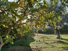 El limonero junto al patio