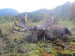 British Columbia Moose