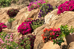 Rock Bed petunias and succulents