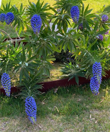 Blue Echiums