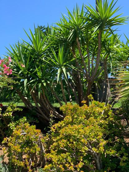 Yacca Jade Tree Menagerie