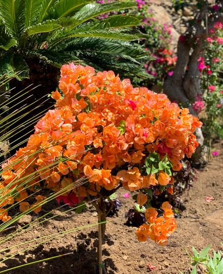 Orange Bouganvilla tree