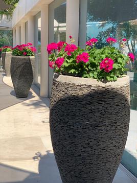 Giant Vase Geraniums