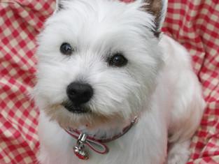clipped westie dog