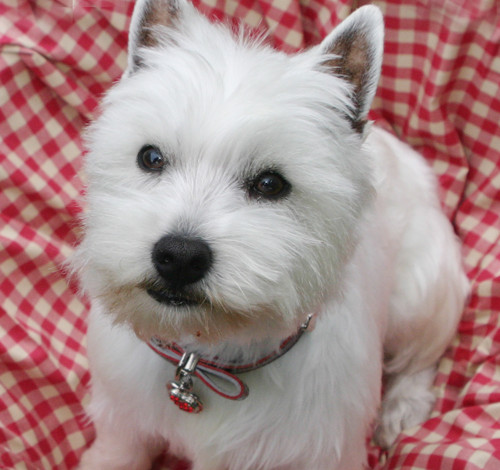 clipped westie dog