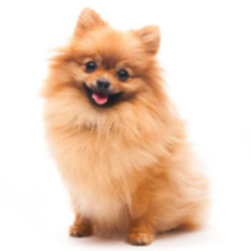 pomeranian-red-700x700_edited.jpg
