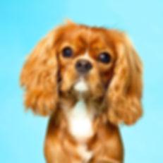 groomed cavalier dog