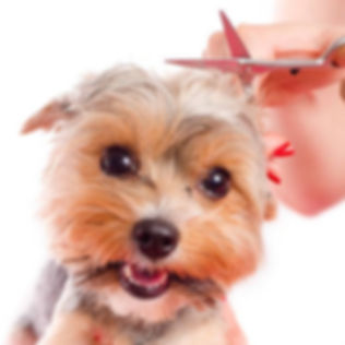 small dog being clipped professionally