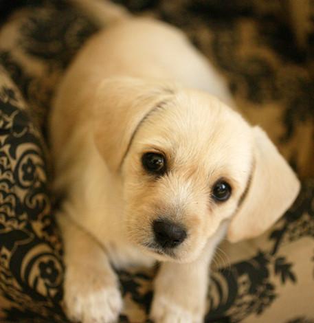 westie cavalier dog