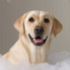 labrador in bubble bath for grooming