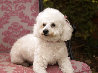 groomed white poodle