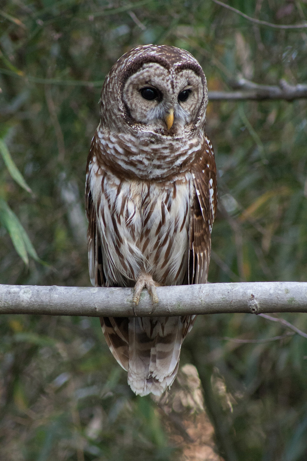 Barred Owl perched on tree branch.