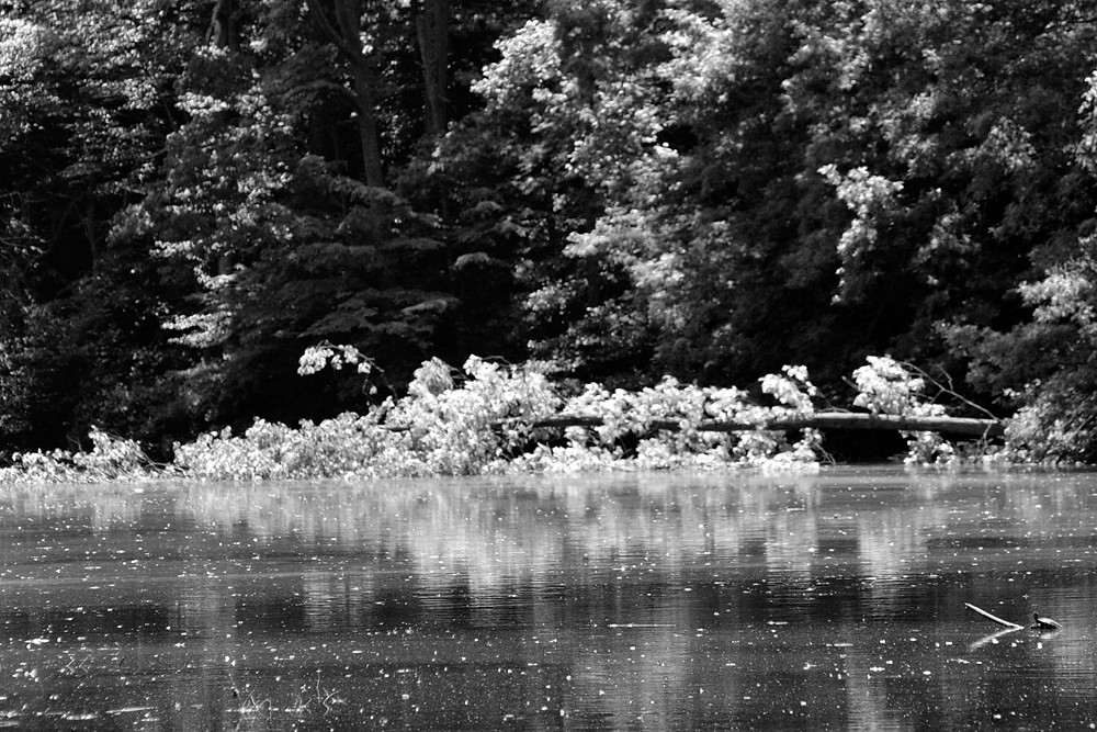 Black & White image of fallen tree and reflection on lake.
