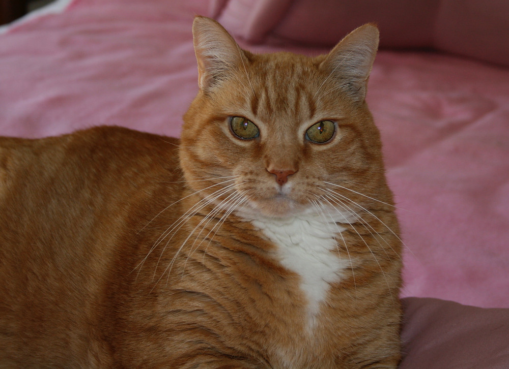 An orange and white tabby cat.