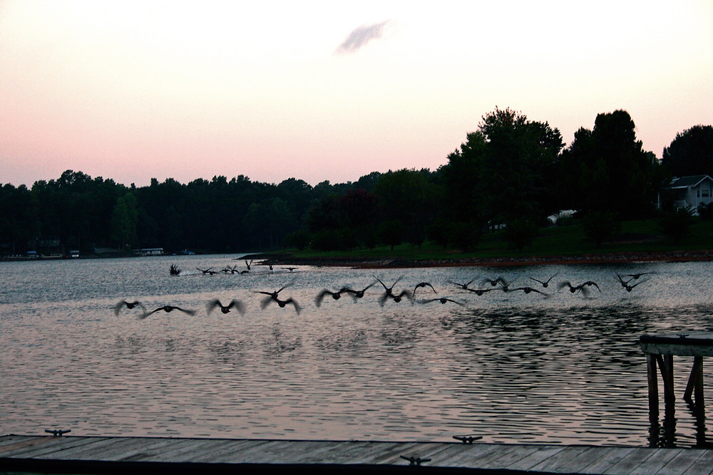 Geese flying over lake at sunrise.