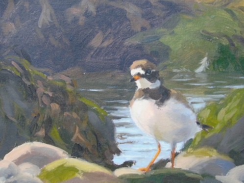 Ringed Plover in the Rock Pools