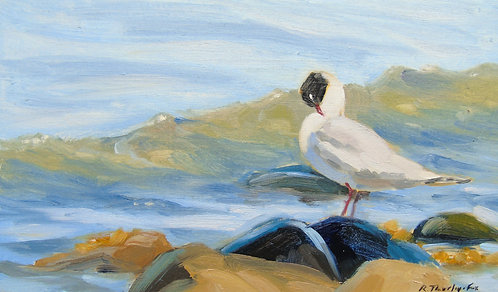Mediterranean Gull Preening on the Beach