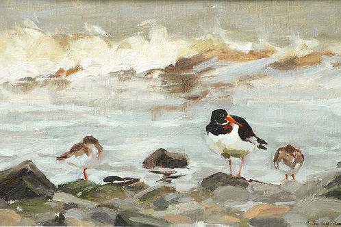 Oystercatcher amongst the Redshanks