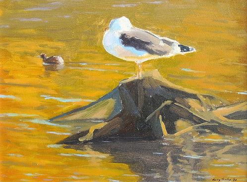 Lesser Black-backed Gull and Little Grebe