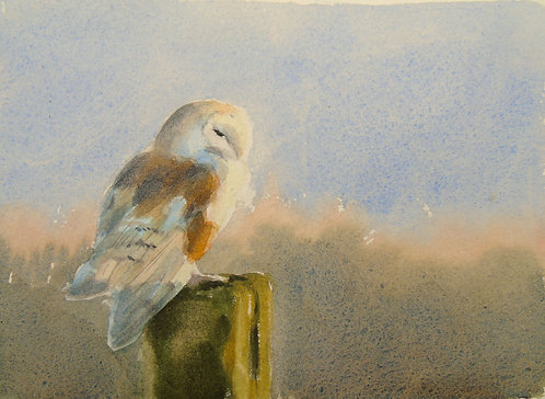 Barn Owl facing the Sun