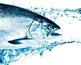 Big Blue Salmon Image.jpg