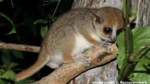 Who cares about mouse lemur hands?