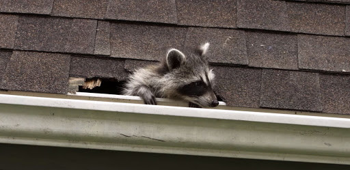 broken shingles on a roof caused by a raccoon