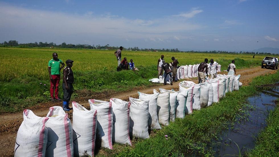 Rice harvest Kisumu - 1.jpeg