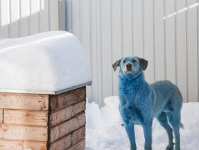 These Dogs in Russia Have Blue Fur