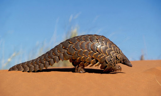 Click here to adopt a Pangolin