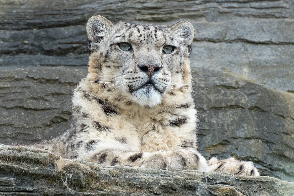 Snow Leopard are Vulnerable Species