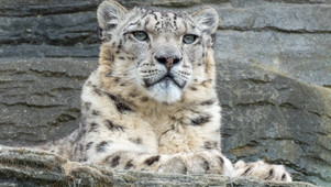 World Snow Leopard Day, Facts You Should Know