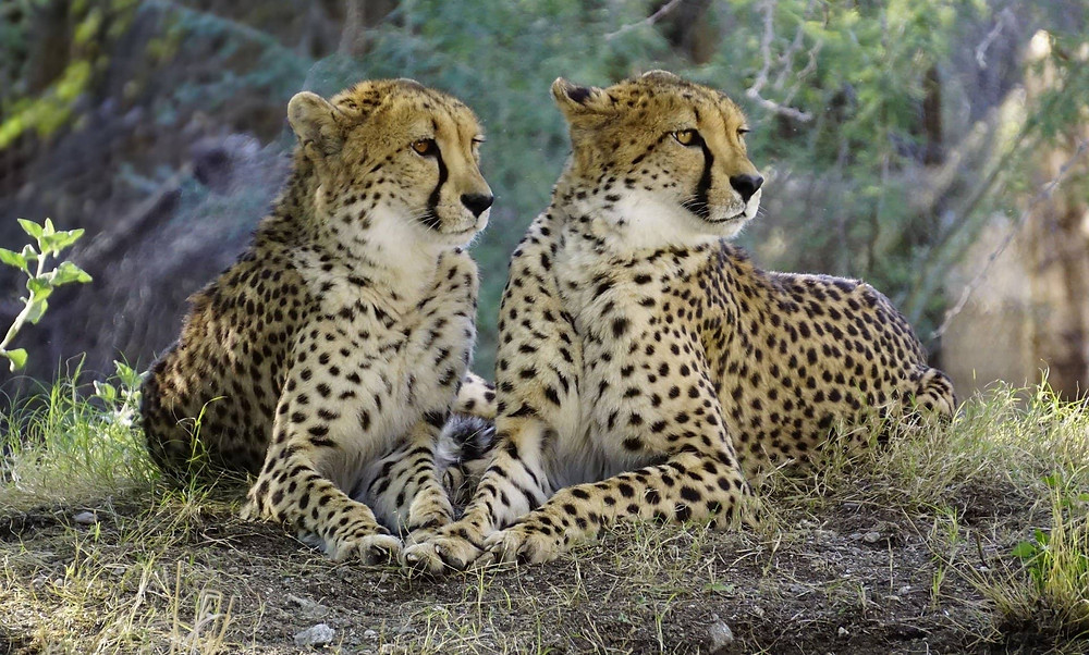 Cheetahs are found in Africa and Iran
