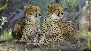 Is Climate Crisis Killing Cheetah? International Cheetah day
