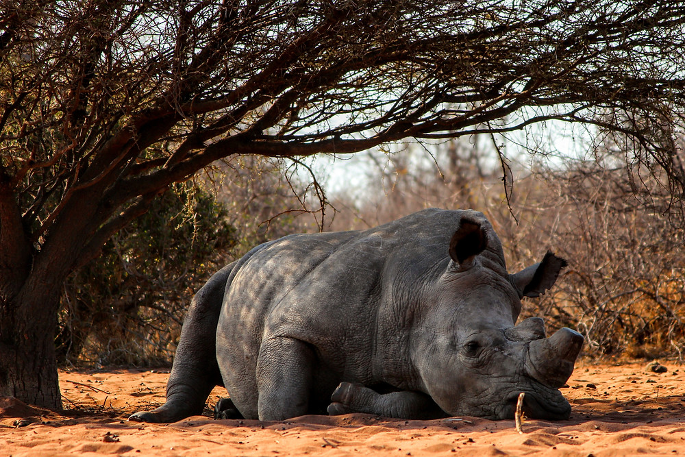 The demand for Rhino tusks has declined