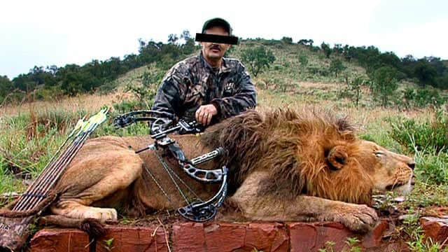 Lion hunting is still prevalent in many countries.