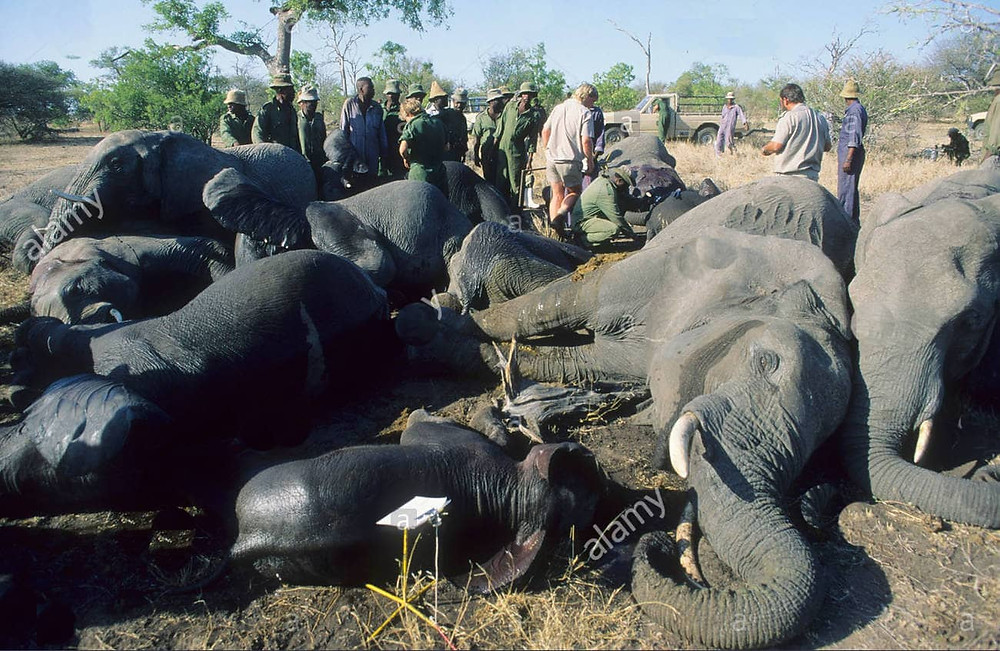 Botswana Culling Elephants and Selling them as Pet Food