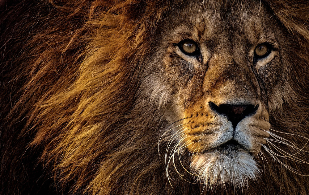 The dwindling number of Lions is scary.