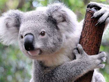 Spirit Animal - Koala