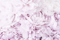 beautiful-pink-peony-flower-background-W
