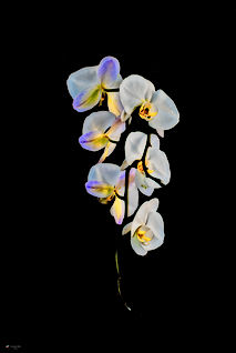 Orchid HG.jpg