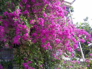 Nuestra Buganvilia en la fachada de los APARTAMENTOS CALIPSO