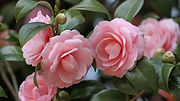 camellia_flowers_garden_buds_stems_leave